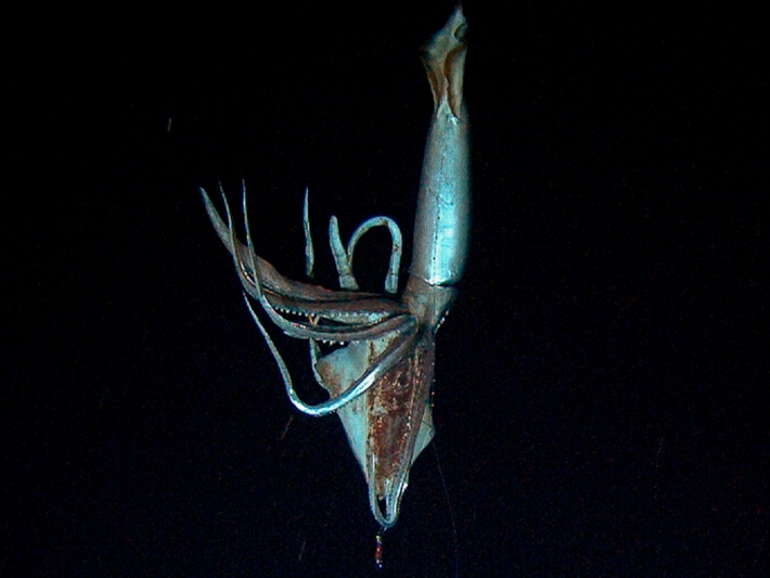 Image: Still image taken from video shows a giant squid near Ogasawara islands