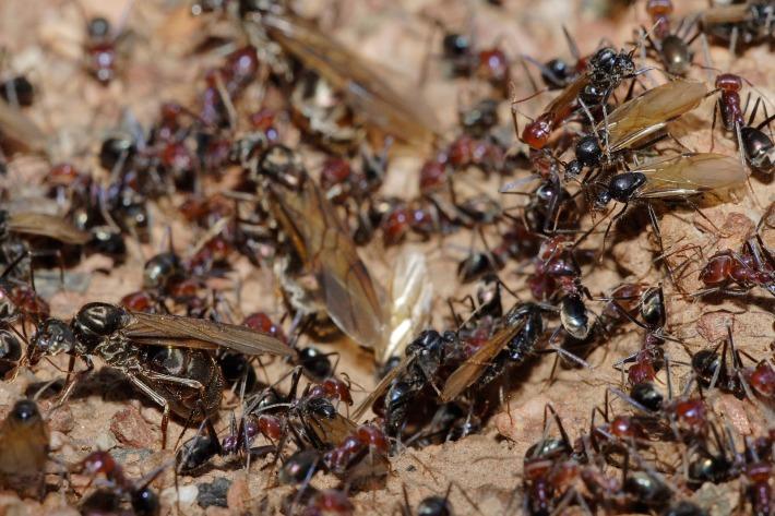 Man vs Ants