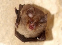 Picture of British Bats