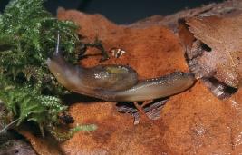 Picture of Dromedary Jumping Slug