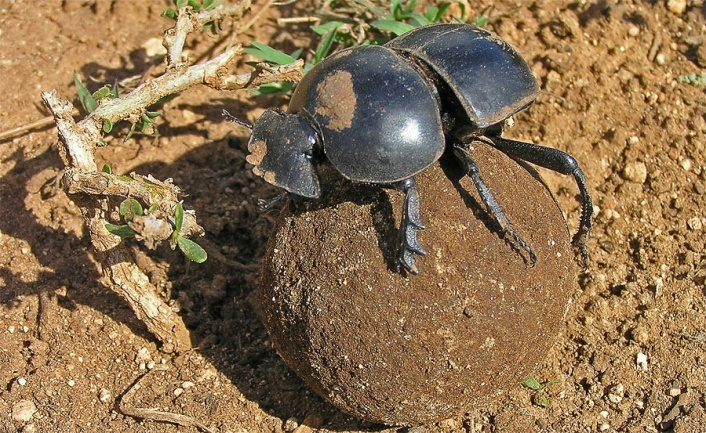 Picture of Flightless Dung Beetle