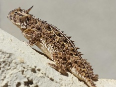 Picture of Greater short-horned lizard