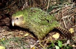 Picture of Kakapo