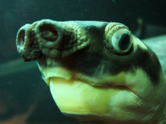 Picture of Pig-Nosed Turtle