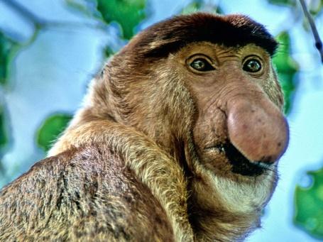 Picture of Proboscis Monkey