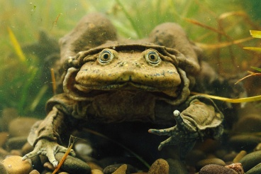 """Picture of Titicaca """"Scrotum"""" Water Frog"""