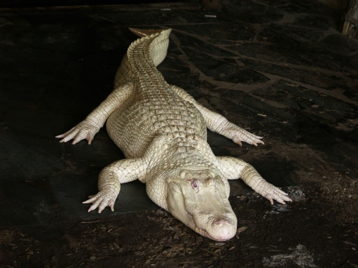 Albino Alligator Credit: Manson Nieman