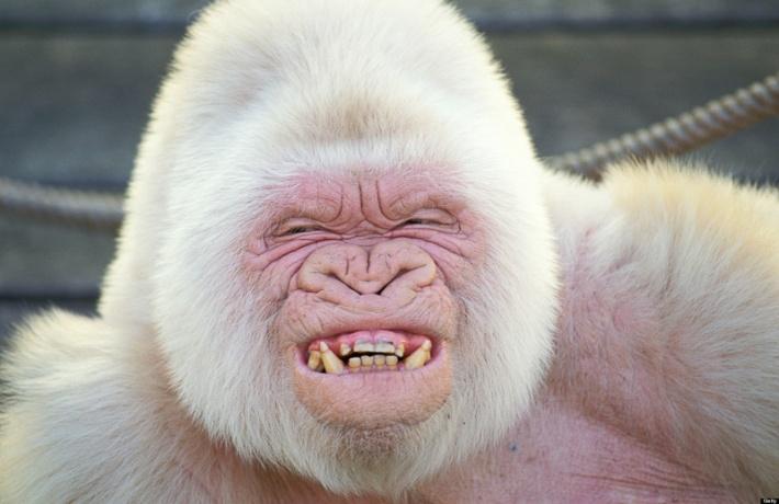 Albino Gorilla Credit: Barcelona Zoo