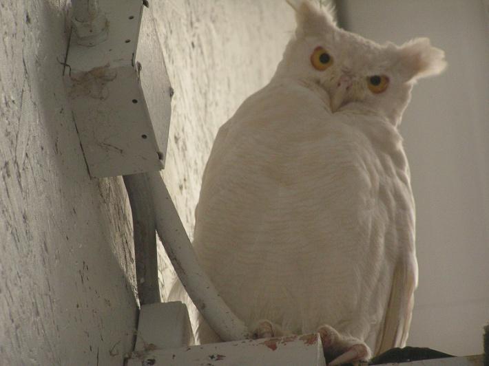 Albino Great Horned Owl Credit: Jake Gross
