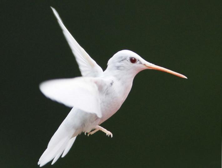 Albino Hummingbird Credit: Marlin Shank, Shaphan Shank, Darren Shank, Allen Shank