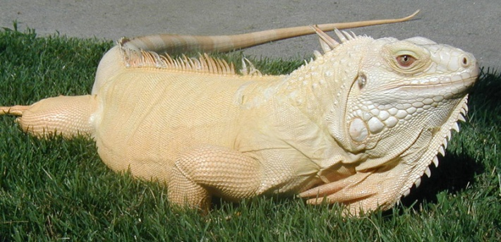 Albino Iguana Credit: All-Iguana