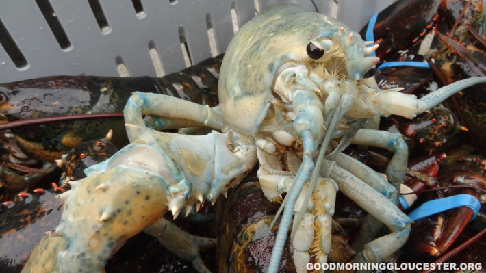 Albino Lobster Credit: GoodMorninggLoucester