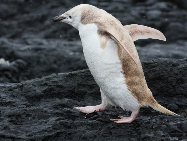 Albino Penguin Credit: David Stephens