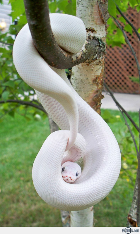 Albino Snake Credit: The Zoom