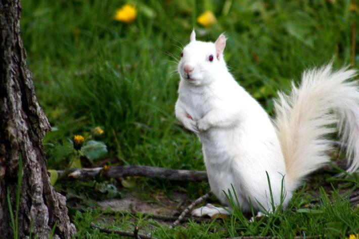 Albino Squirrel Credit: ChelseaB23