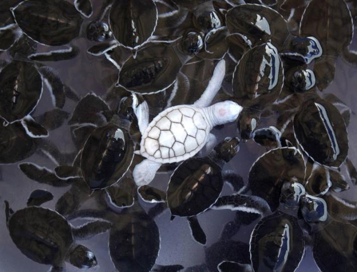 Albino Turtle Credit: imgur
