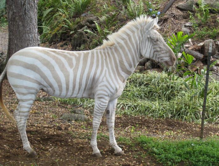 Albino Zebra Credit: jschroe