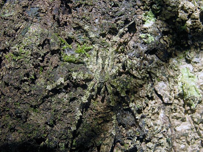 Lichen Spider Camouflage