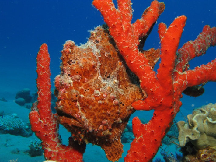Frogfish Camouflage