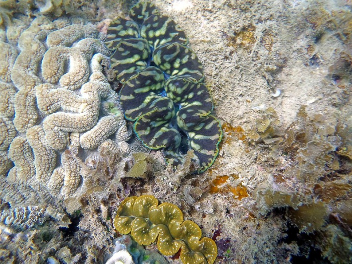 Giant Clam Camouflage