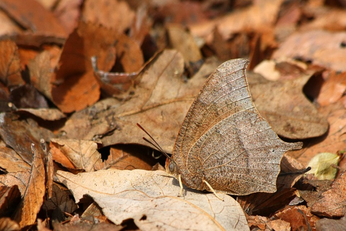 Goatweed Leafwing Camouflage