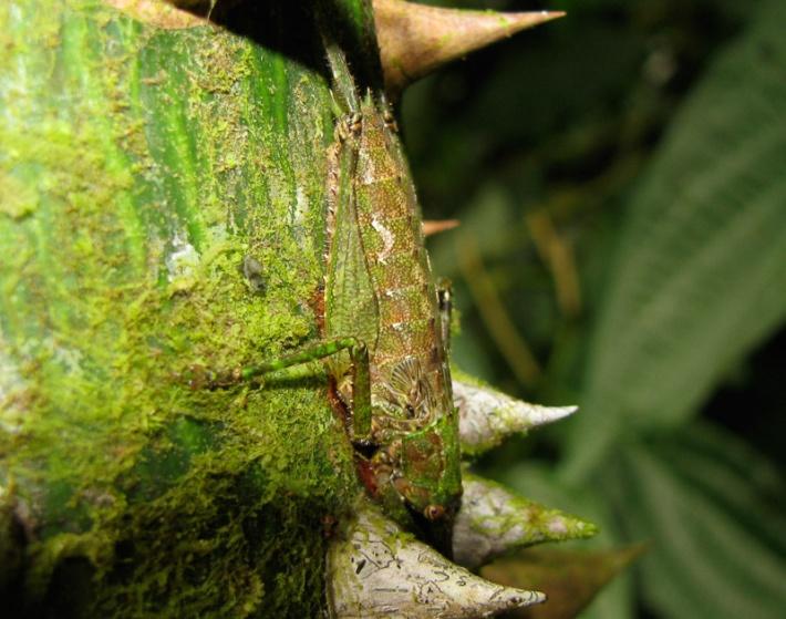 Grasshopper La Selva Camouflage