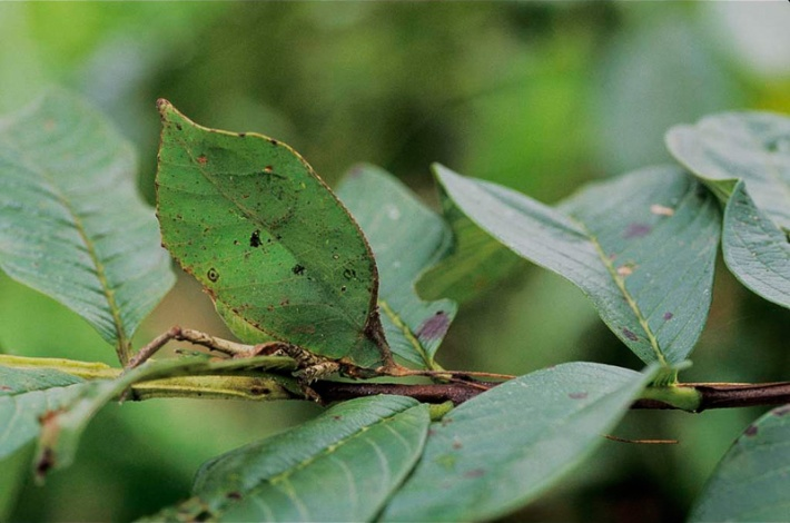 Katydid Green Camouflage