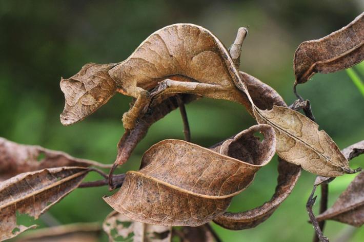 Satanic Leaf-Tailed Gecko Camouflage