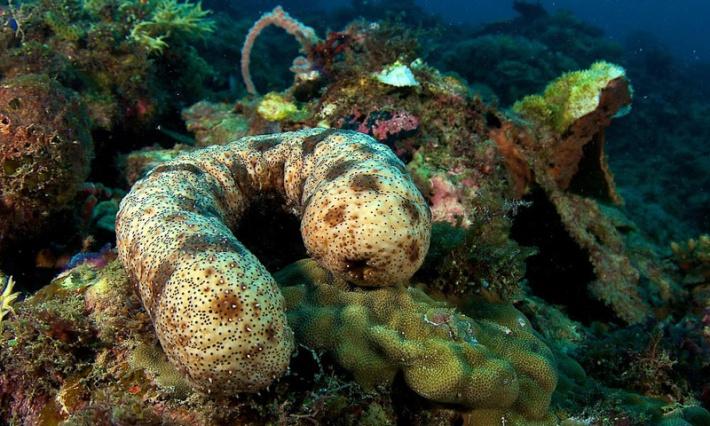 Sea Cucumber Camouflage