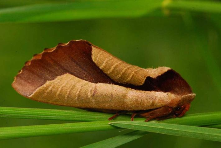 Uropyia meticulodina Camouflage