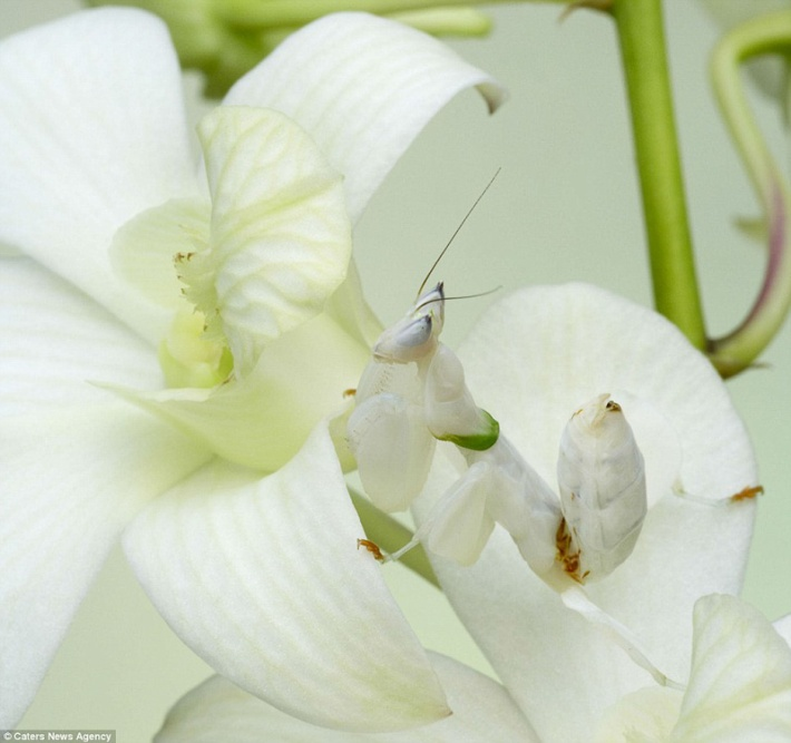 White Orchid Mantis Camouflage